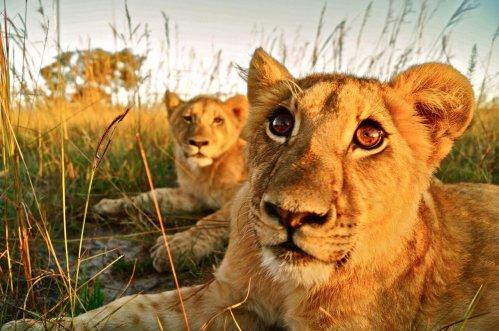 Ngamo pride cubs antelope park