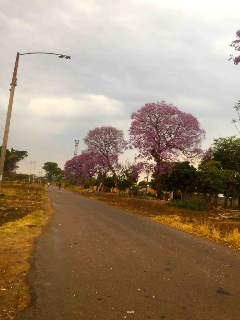 Jacaranda trees Harare Zimbabwe