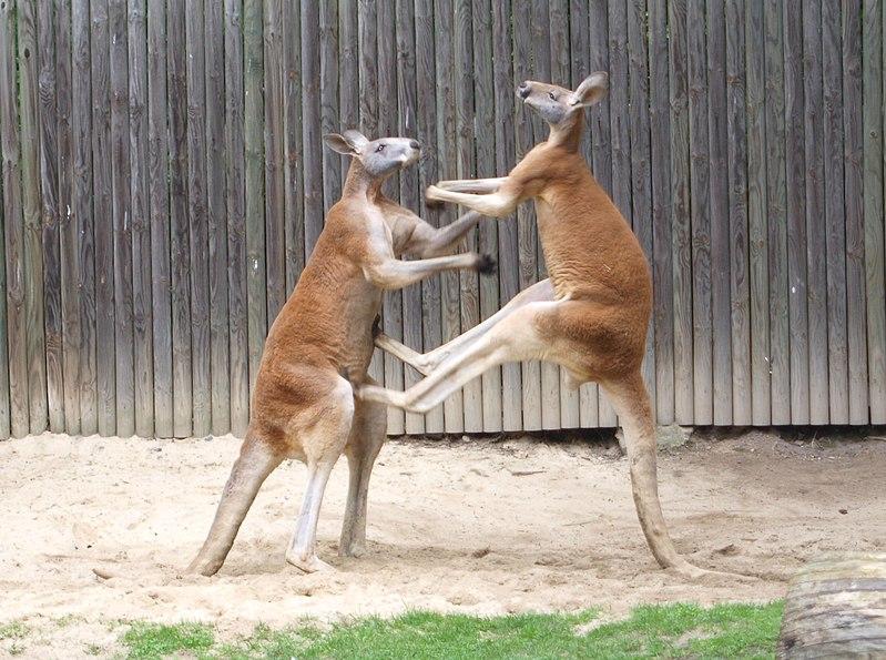 Red kangaroo kicking