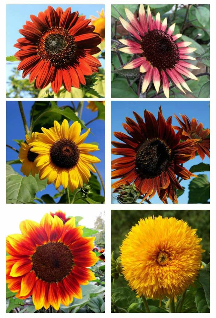 different colours of sunflowers