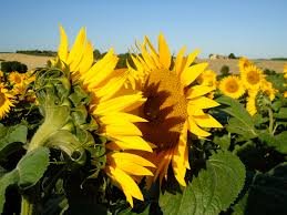 when there is no sun sunflowers face each other